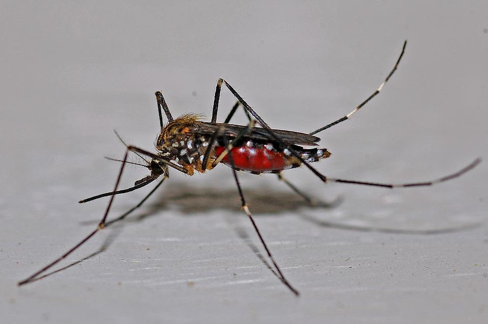 Mosquito, Insect, Macro, Biology, Animal, Nature, Bug