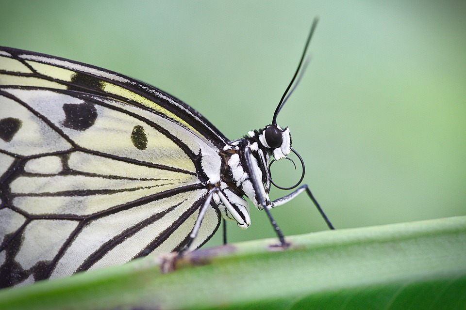 Butterfly, Insect, Edelfalter, Close Up, Macro, Wings