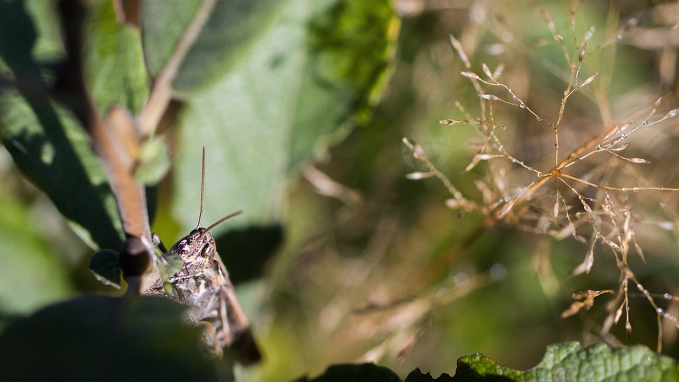 Insect, Grasshopper, Entomology, Nature, Species, Macro