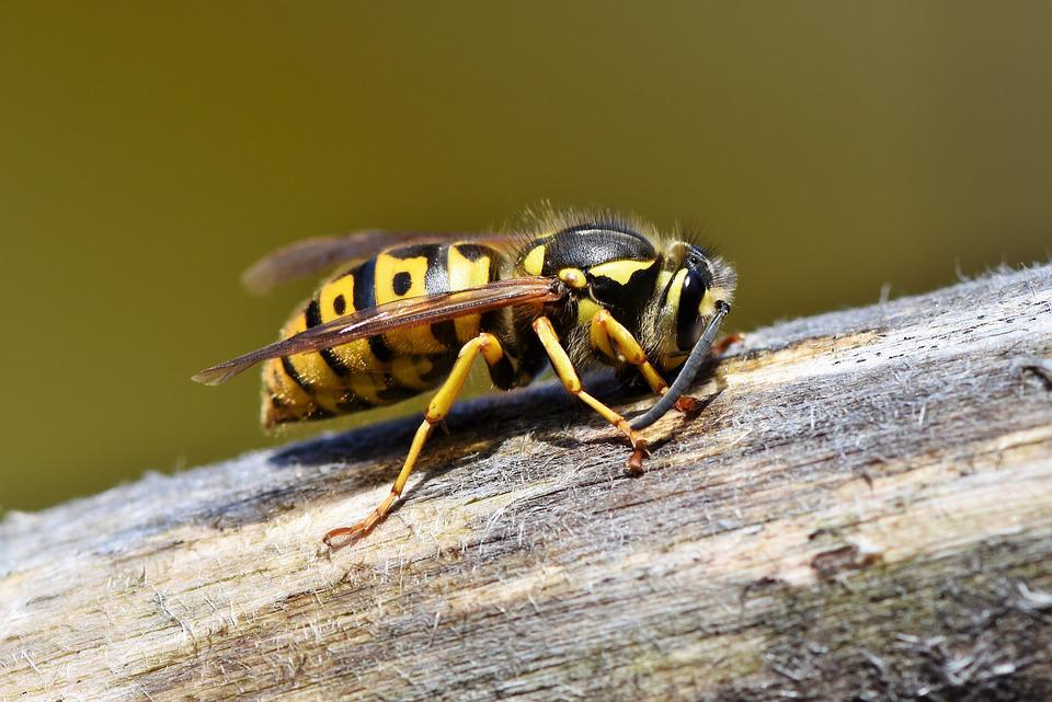 Hornet, Wasp, Insect, Sting, Animal, Macro, Prickly