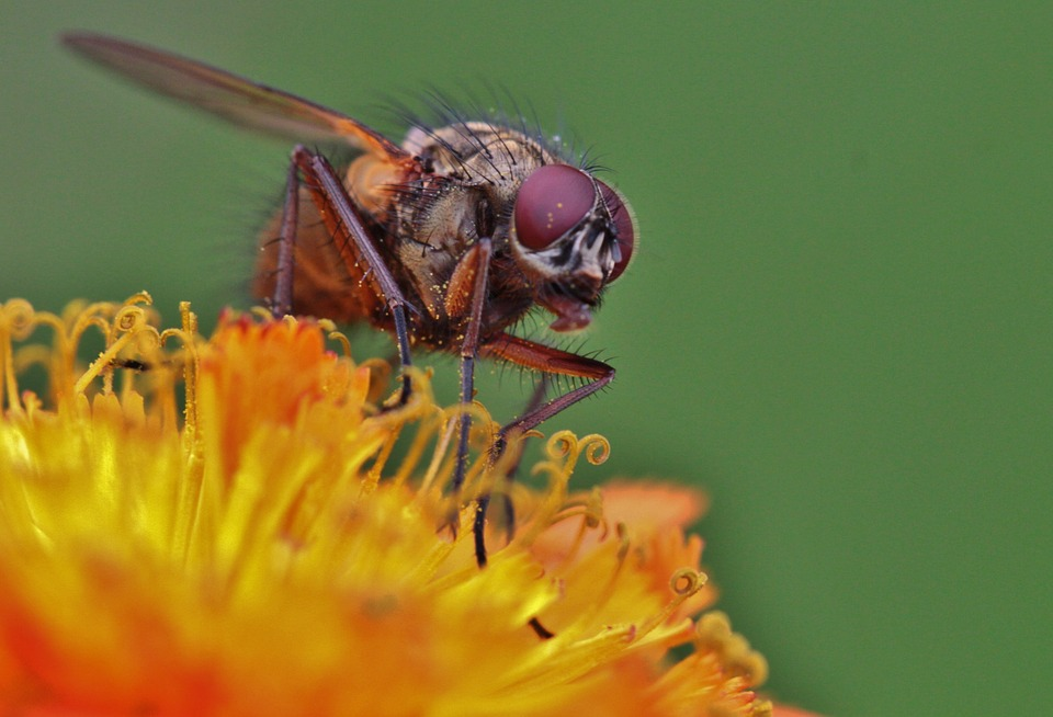 Fly, Compound Eyes, Fly Macro, Insect, Insect Macro