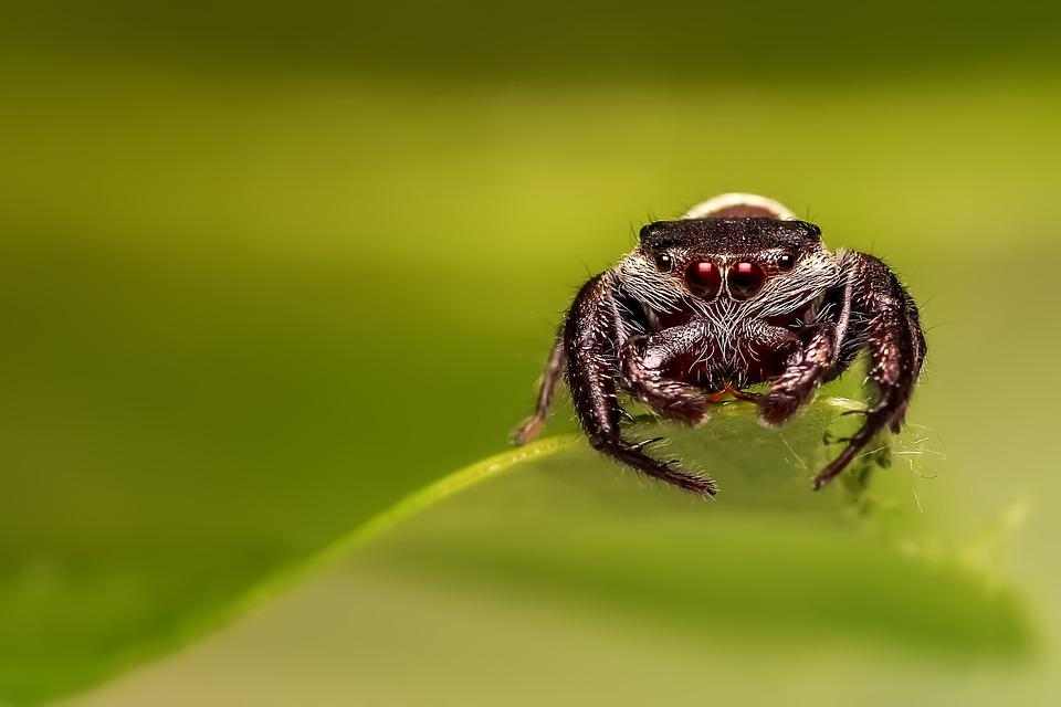 Jumping Spider, Spider, Insect, Macro, Jumper