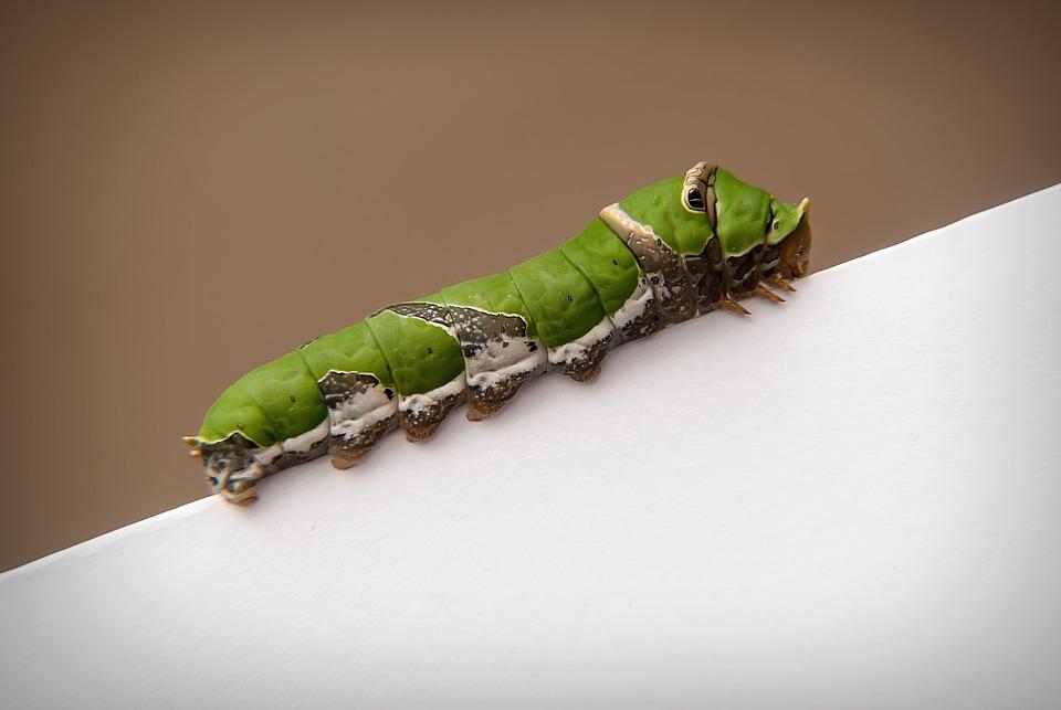 Caterpillar, Swallowtail, Mandibles, Insect, Macro
