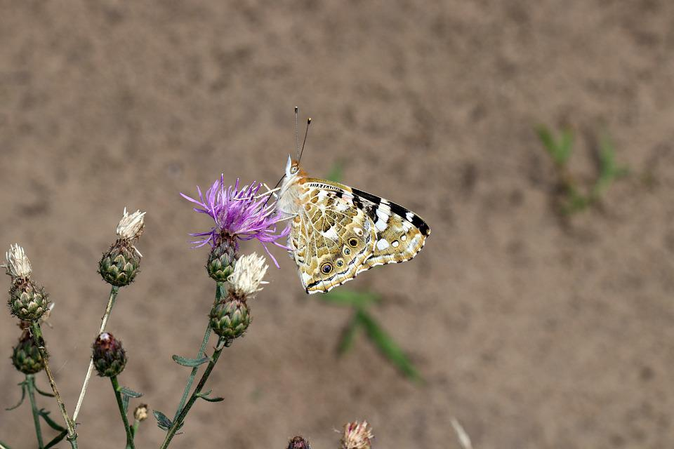 Butterfly, Insect, Flower, Nature, Macro, Flowers