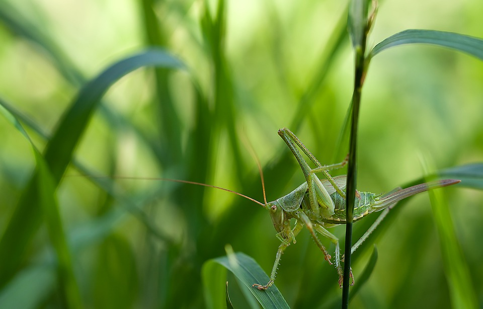 Insect, Nature, Tettigonia Viridissima, Grass, Macro