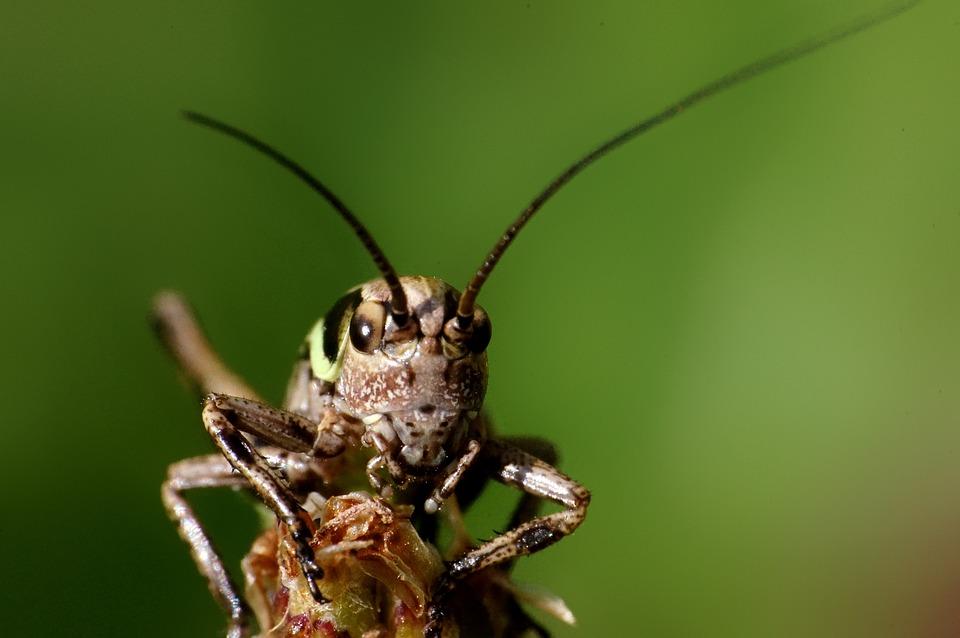 Grasshopper, Insect, Animal, Nature, Macro, Portrait