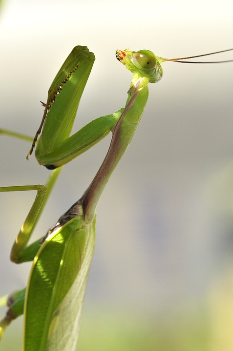 Prying Mantis, Insect, Nature, Leaves, Mantis, Plant