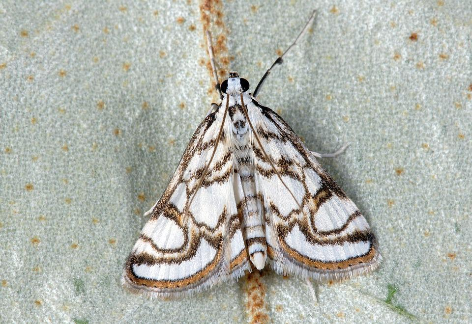 Moth, Pyralid, Insect, Nature, Lepidoptera, Wings