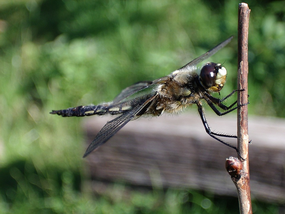 Animal, Nature, Animal World, Wing, Insect, Dragonfly