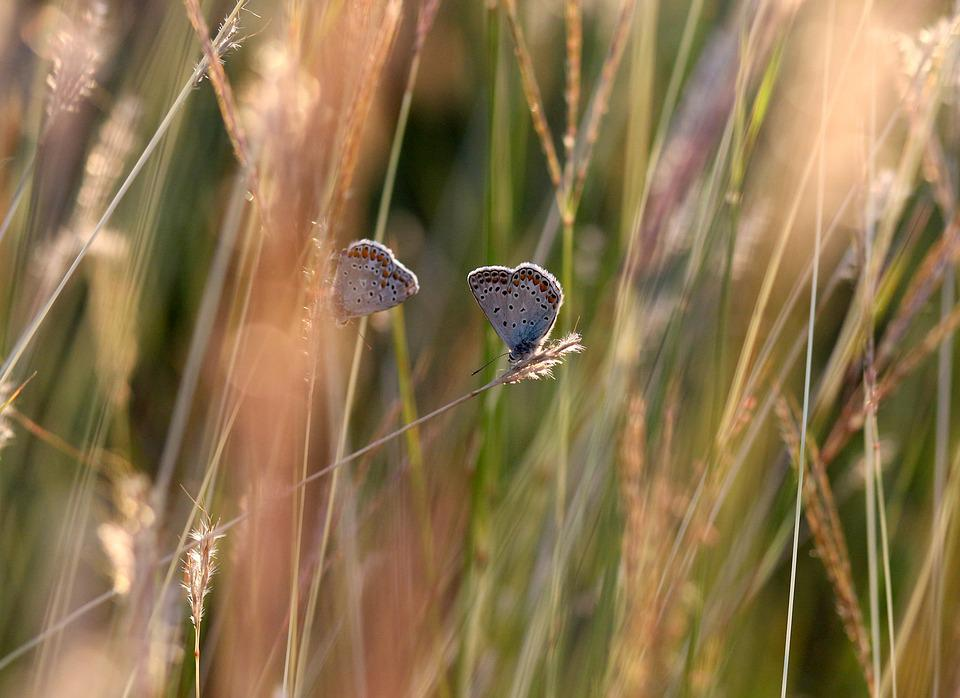 Butterflies, Mating, Grass, Nature, Insect