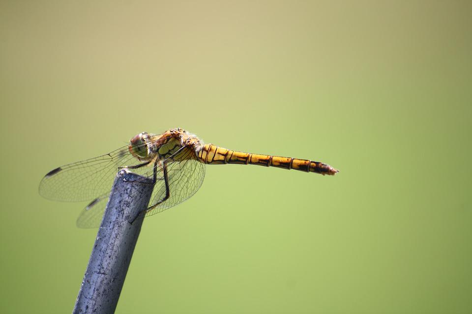 Dragonfly, Insect, Close, Wing, Creature, Nature