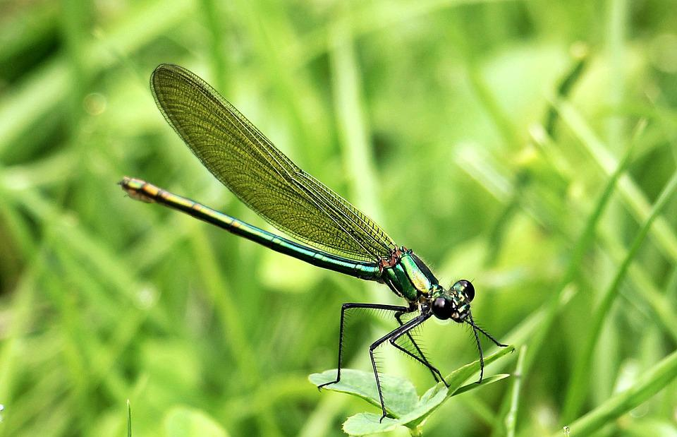 Dragonfly, Insect, Nature, Animal, Flight Insect