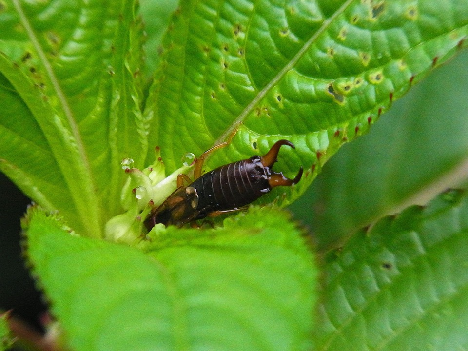 Insect, Earwigs, Nature, Animal, Forest, Leaf