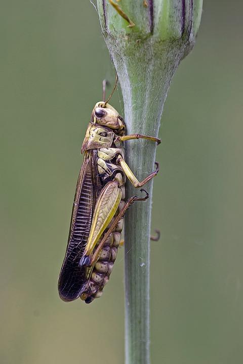Grasshopper, Locust, Insect, Invertebrate, Nature