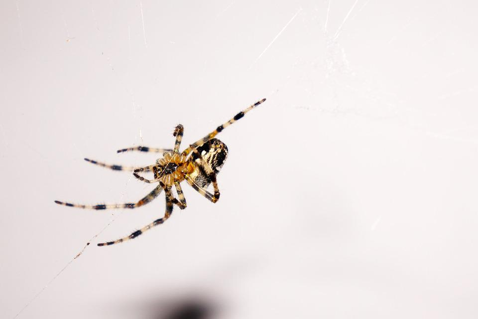 Spider, Animal, Insect, Nature, Arachnid, Network