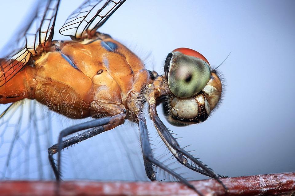Dragonfly, Insect, Odonata, Macro, Head, Orange, Blue