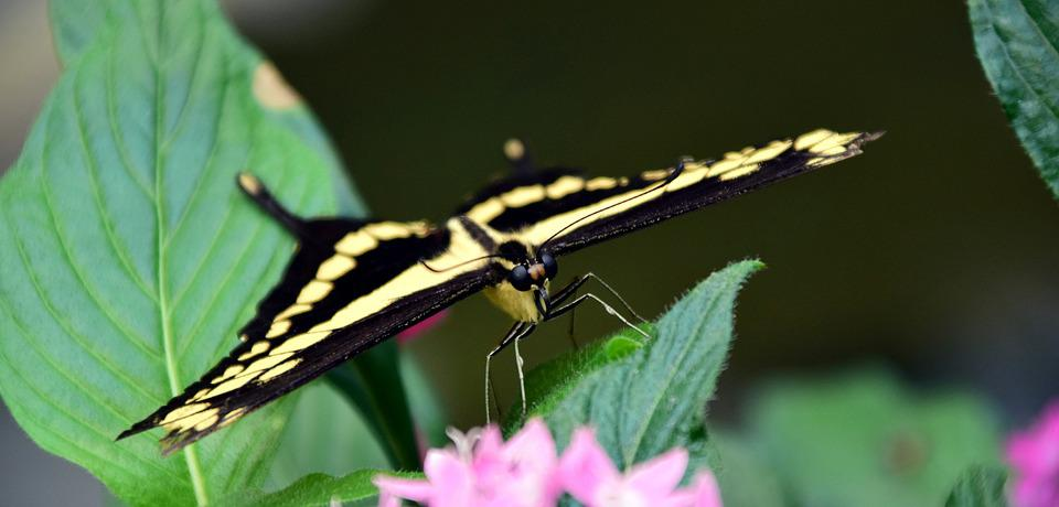 Dovetail, Papilio Machaon, Butterfly, Close Up, Insect