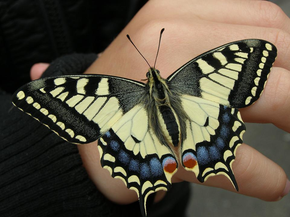 Dovetail, Butterfly, Nature, Insect, Papilio Machaon