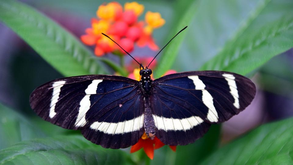 Passion Butterfly, Butterfly, Exotic, Tropical, Insect