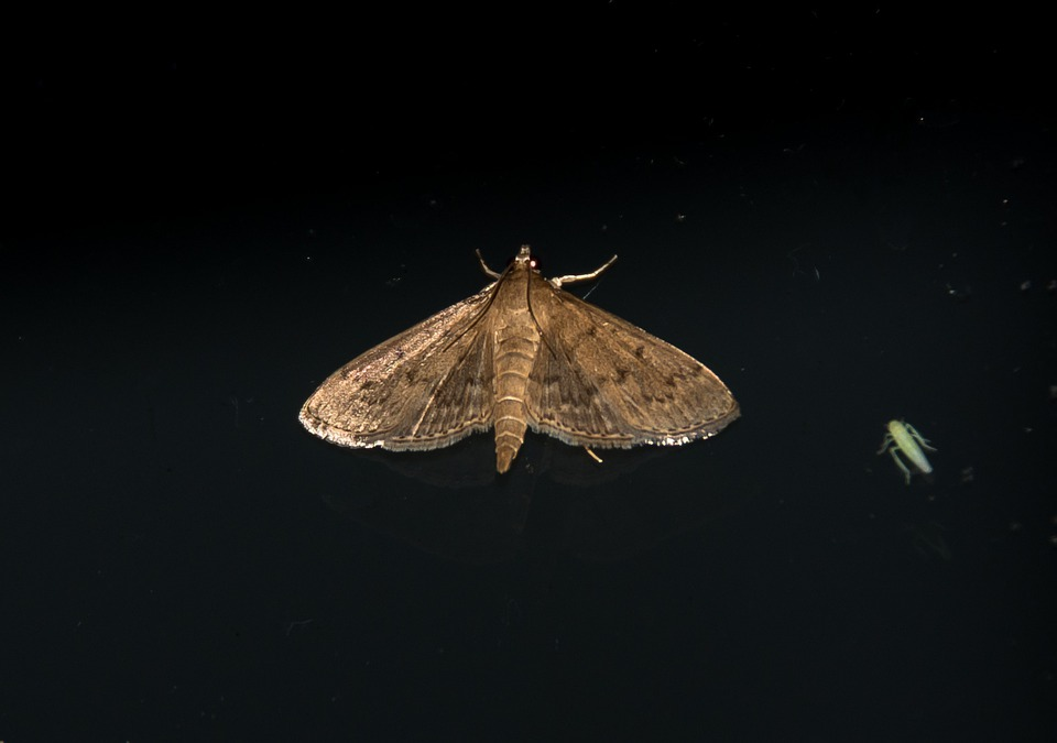 Moth, Large, Insect, Brown, Pattern, Intricate, Wild