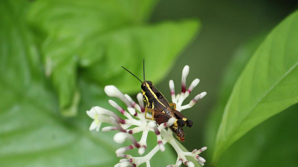 Locust, Yellow, Black, Kerala, Forest, Insect, Pest