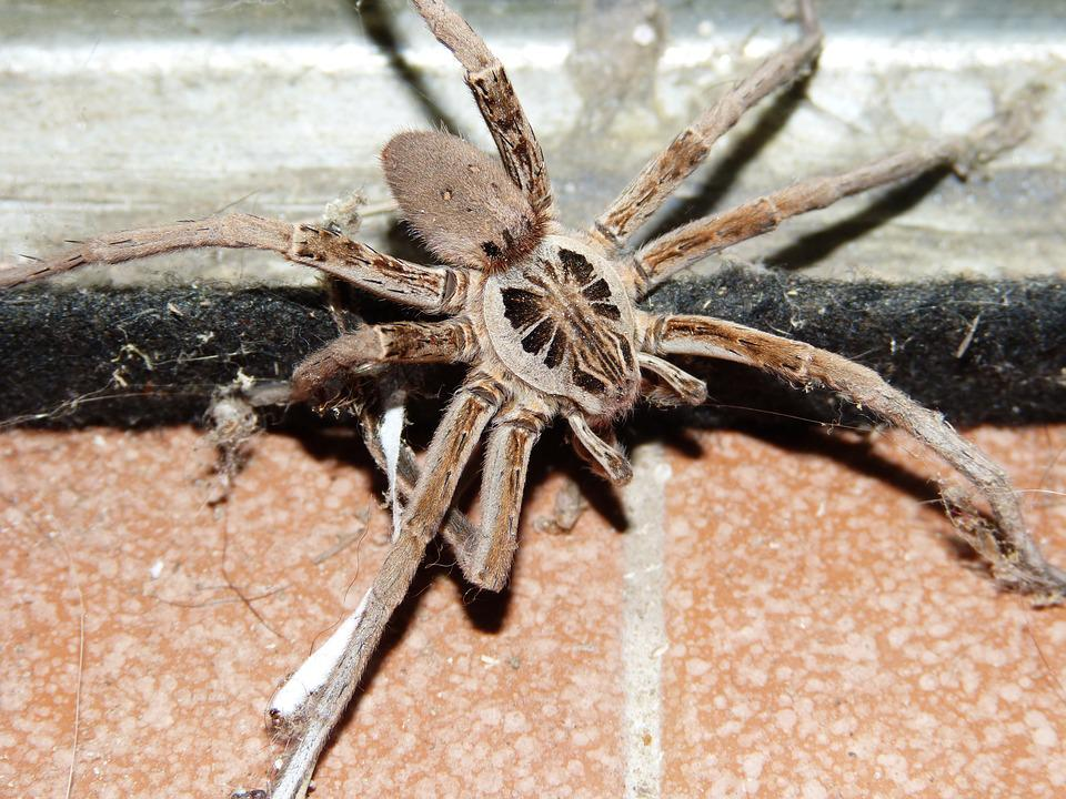 Wolf Spider, Arachnid, Pins, Insect, Eight Legs