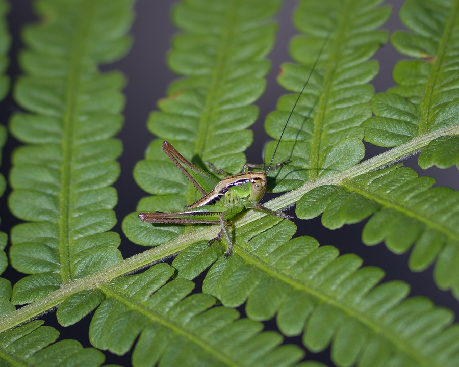 Grasshopper, Insect, Nature, Green, Plant, Leaf, Fern