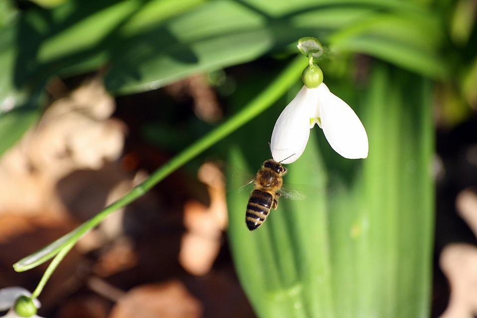 Animals, Insect, Bees, Pollination, Snowdrop
