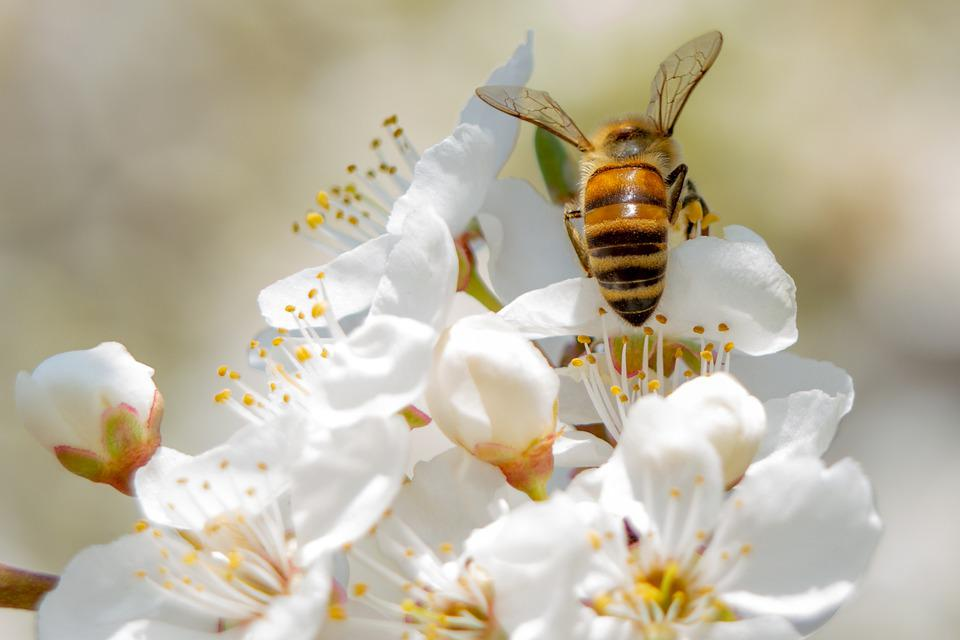 Bee, Flowers, Petals, Pollen, Pollination, Insect, Bug