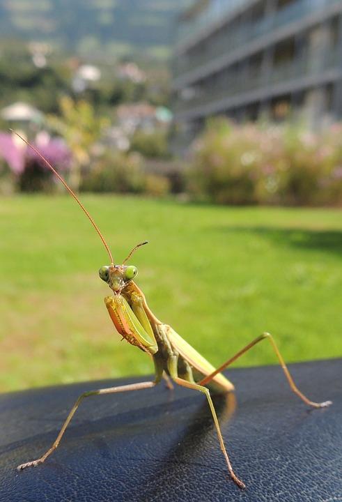Praying Mantis, Insect, Green, Fishing Locust, Macro