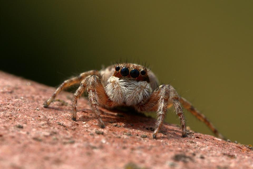 Spider, Jumper, Insect, Predator