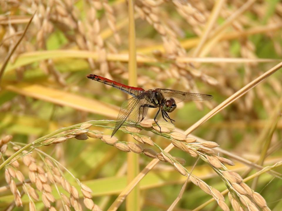 Insect, Paddy Field, Rice, Dragonfly, Red Dragonfly