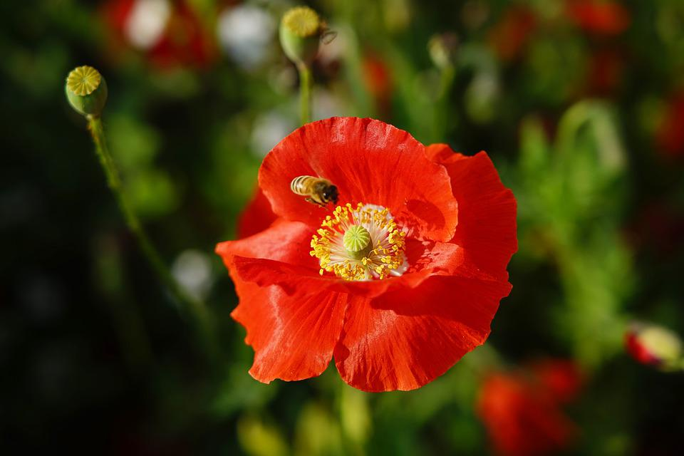 Poppy, Butterfly, Smmer, Insect, Flower, Beautiful, Red