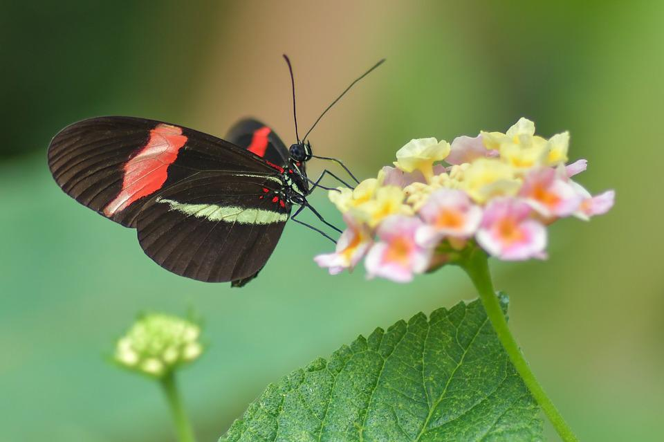 Butterfly, Black, Insect, Flower, Red, Forage