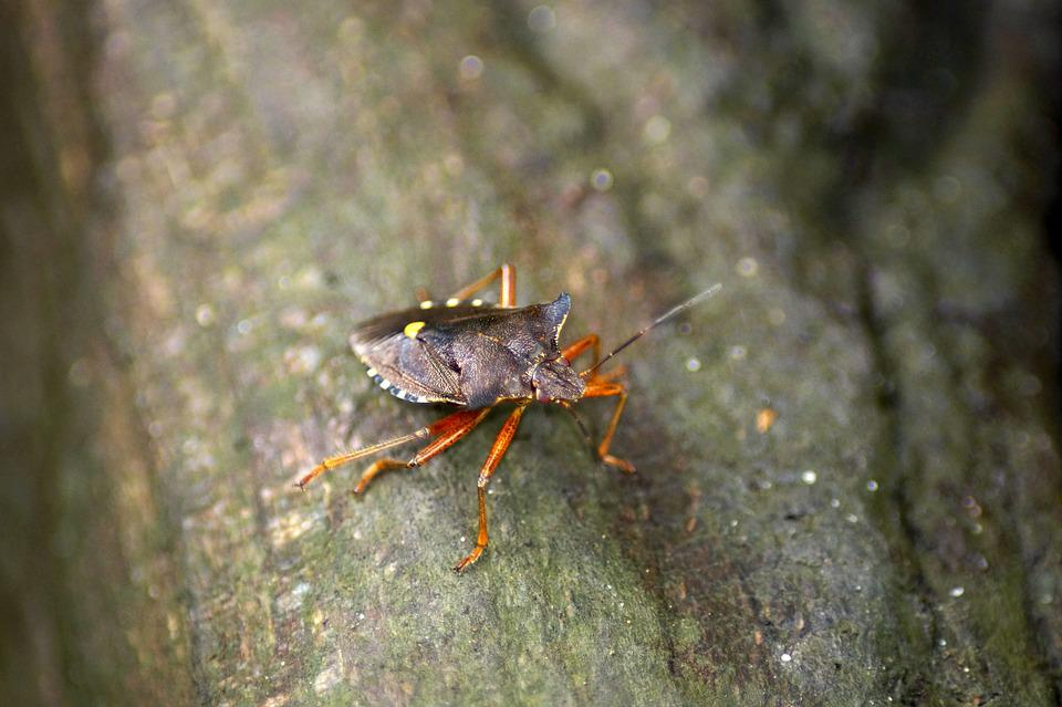 Red Legged Tree Bug, Pentatoma Rufipes, Insect, Beetle