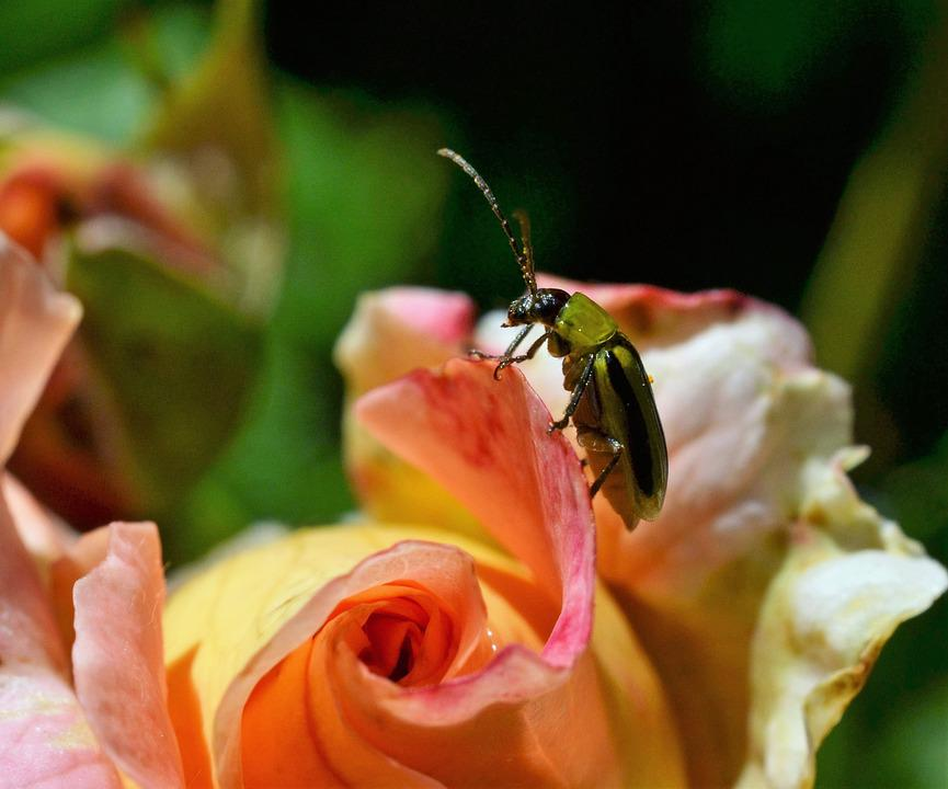 Green Beetle, Rose, Insect, Close