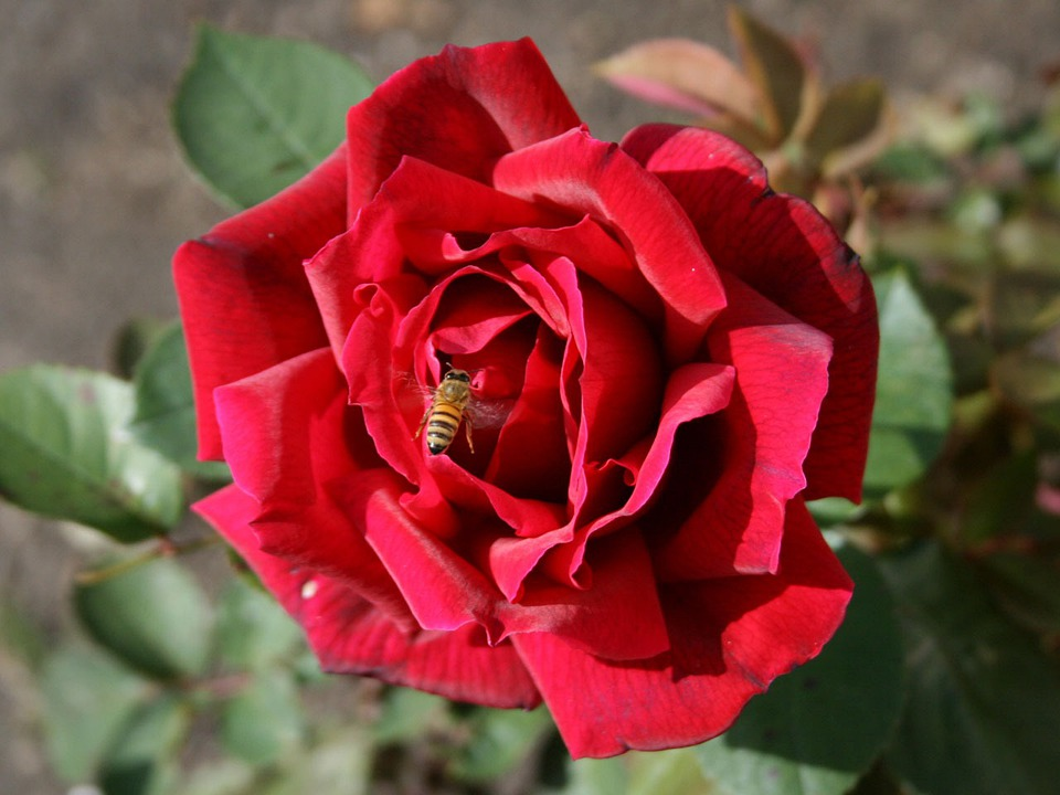 Rose, Flower, Plant, Bee, Insect, Nature