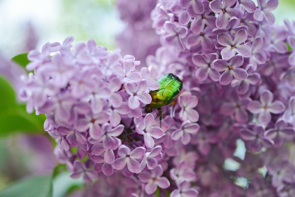 Lilac, Insect, Bug, Scarab, Purple, Bush, Tree, Garden