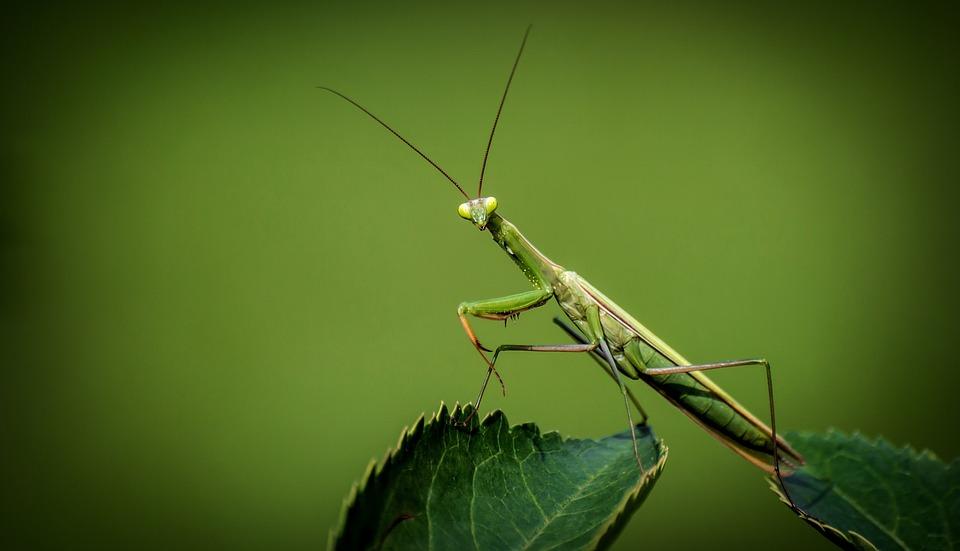 Praying, Mantis Religiosa, Insect, Green, Bush, Sheet