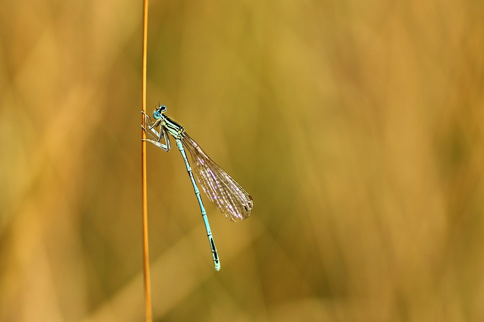Spring Dragonfly, Dragonfly, Small Dragonfly, Insect