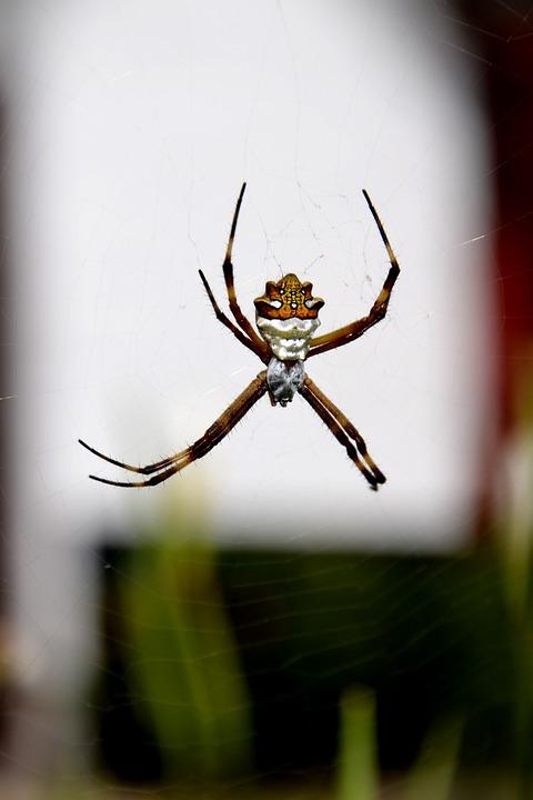 Spider, Insect, Nature, Arachnid