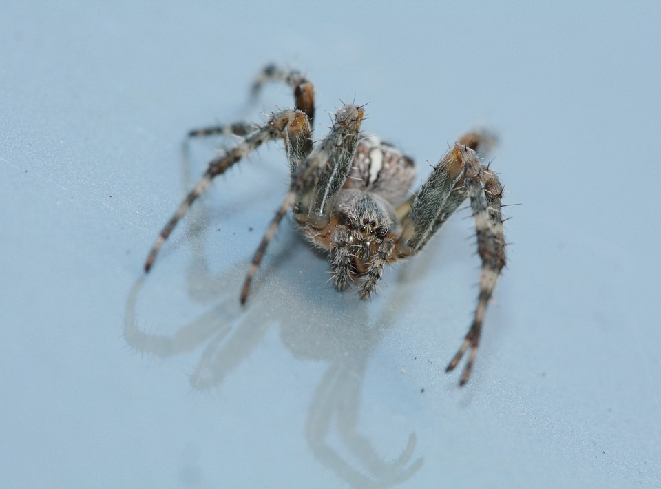 Spider, Arachnids, Legs, Insect, Arachne, Jaw Claw