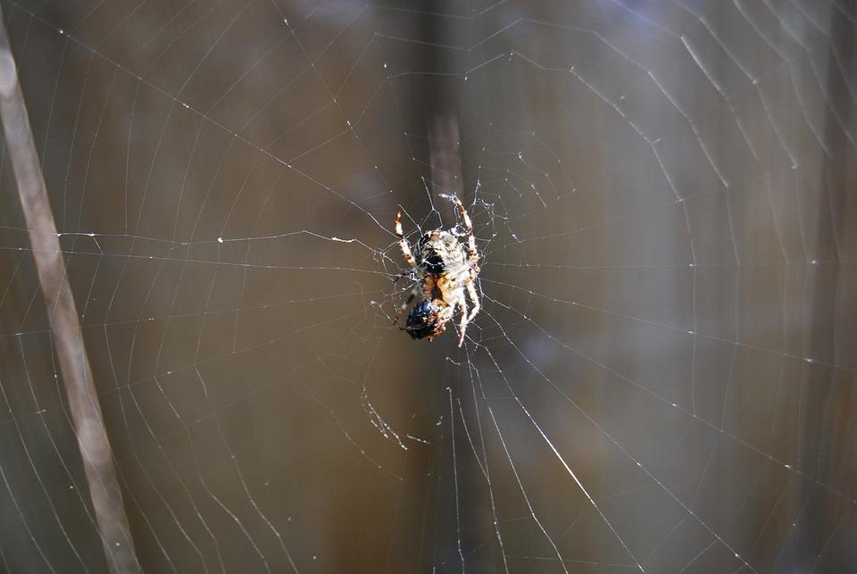 Spider, Spider Web, Insect, Arachnids