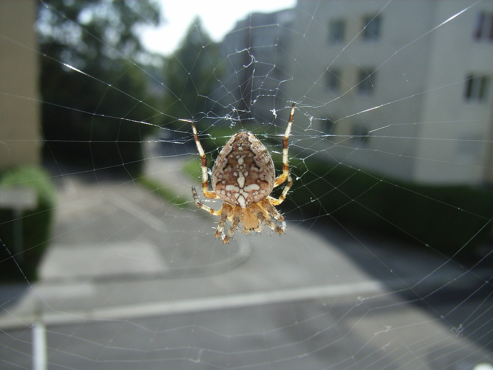 Spider, Cobweb, Animal, Insect