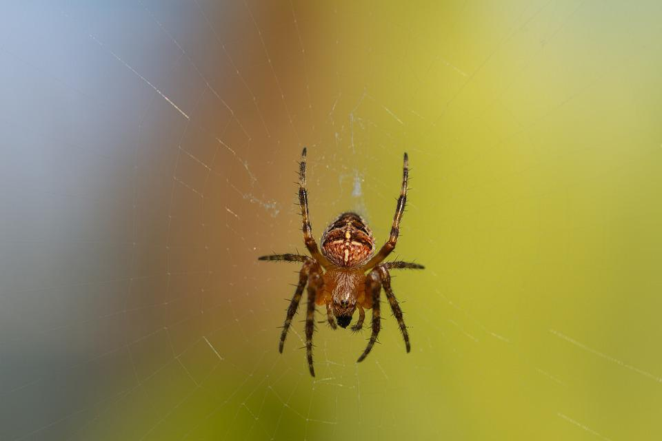 Spider, Spider Web, Insect, Macro, Angulate Orbweaver
