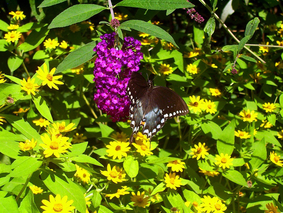Butterfly, Insect, Black, White, Spots, Pink, Yellow