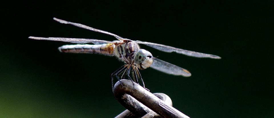 Nature, Insect, Dragonfly, Wildlife, Macro, Spring