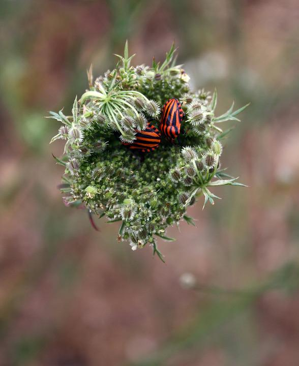 Minstrel Bug, Beetle, Striped-bug, Insect, Nature