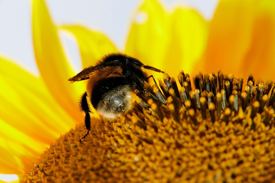 Bumblebee, Sunflower, Pollination, Bee, Insect