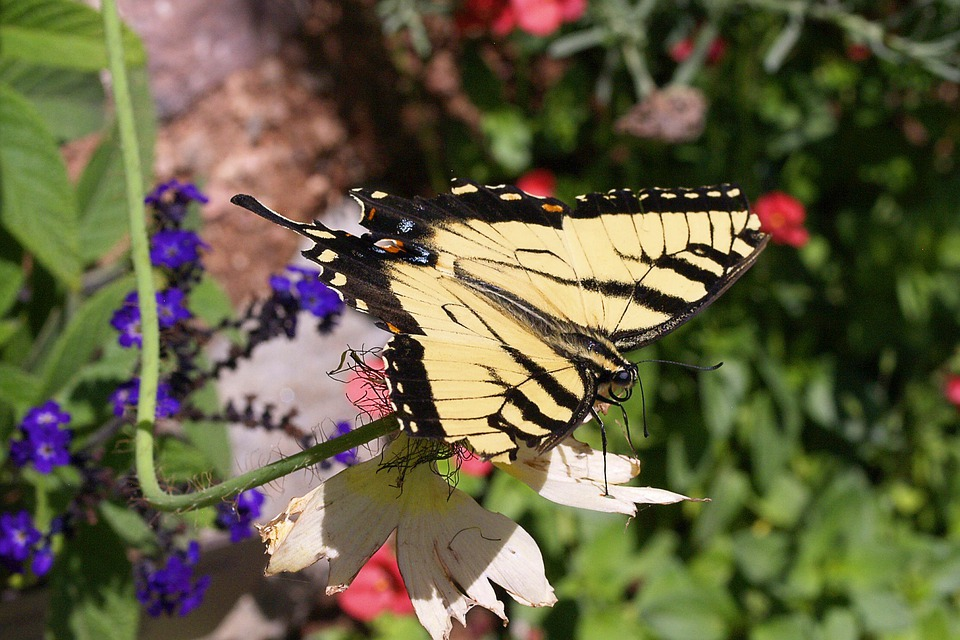 Butterfly, Insect, Yellow, Swallowtail, Nature, Wing